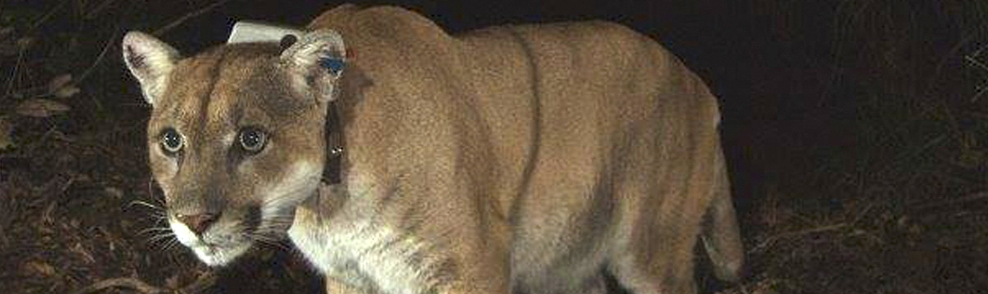 Protect You, Your Family and Pets from Mountain Lions